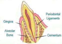 Periodontium Graphic