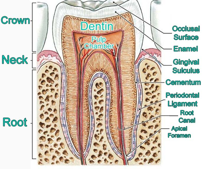 Labeled anatomy of the human tooth