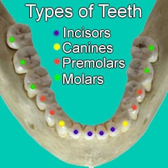 Types of teeth in the mouth